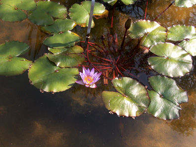 Nymphaea 'Margaret Mary' / Nymphaea 'Margaret Mary'