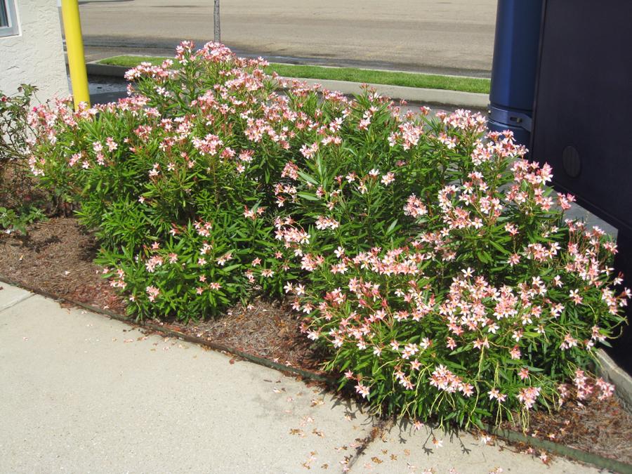 Nerium oleander 'Petite Pink'  / Nerium oleander 'Petite Pink'
