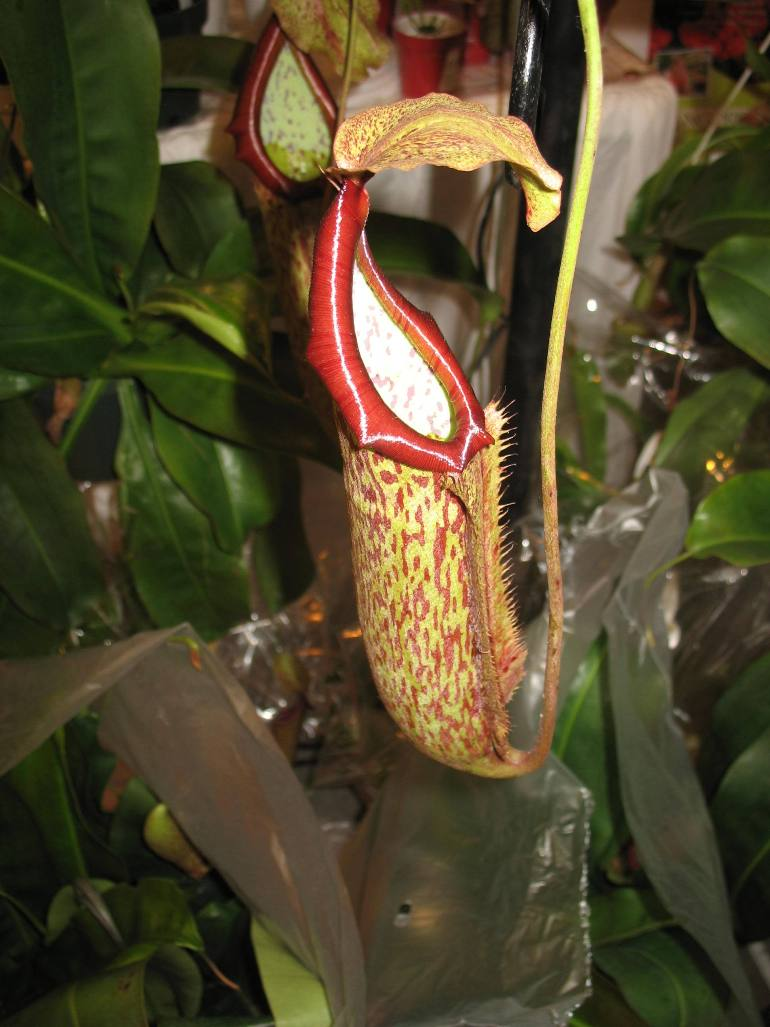 Nepenthes 'Miranda'   / Nepenthes 'Miranda'