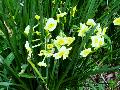 Golden Dawn Narcissus / Narcissus