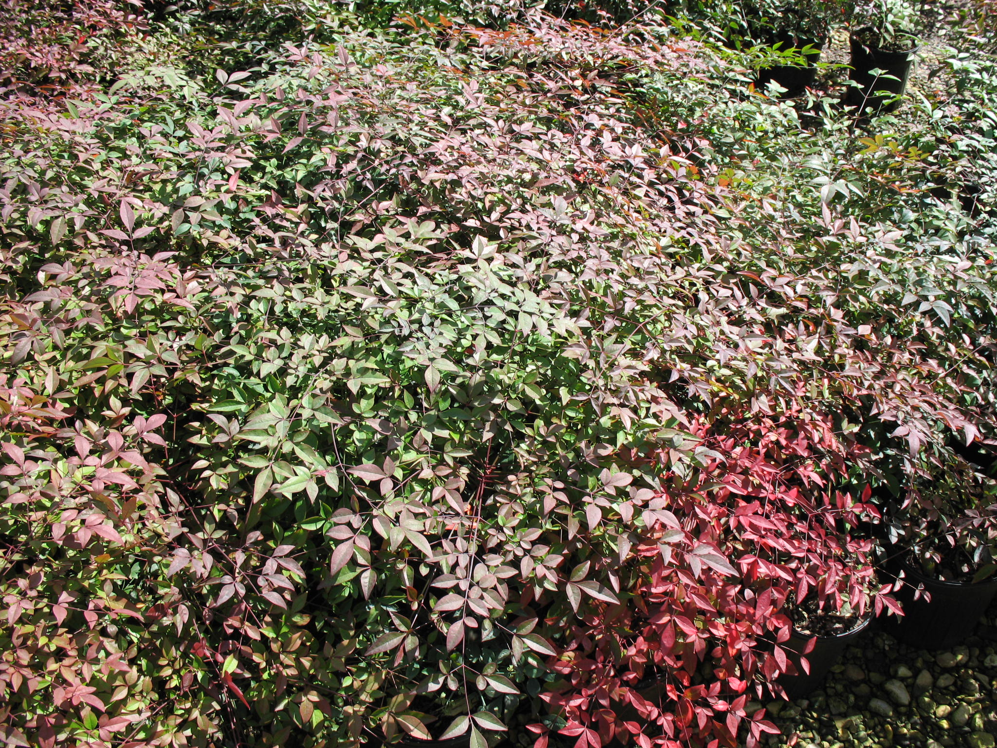 online plant guide nandina domestica 39 compacta 39 compact nandina. Black Bedroom Furniture Sets. Home Design Ideas
