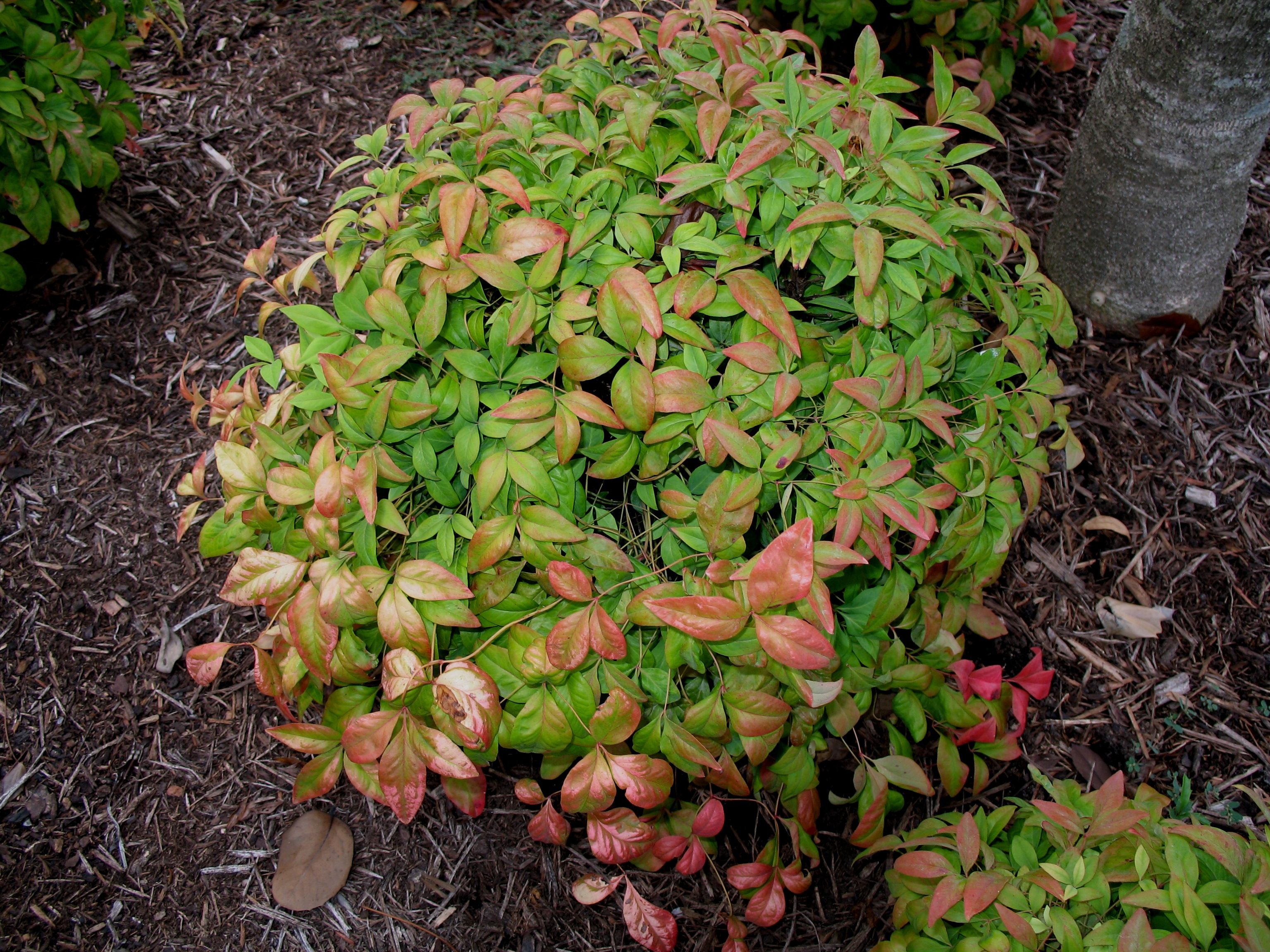 online plant guide nandina domestica 39 pygmaea 39 dwarf nandina. Black Bedroom Furniture Sets. Home Design Ideas
