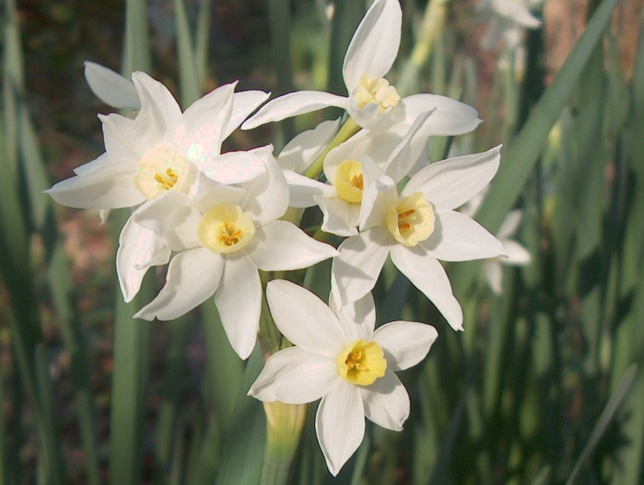 Narcissus tazetta 'Paperwhite'  / Narcissus tazetta 'Paperwhite'