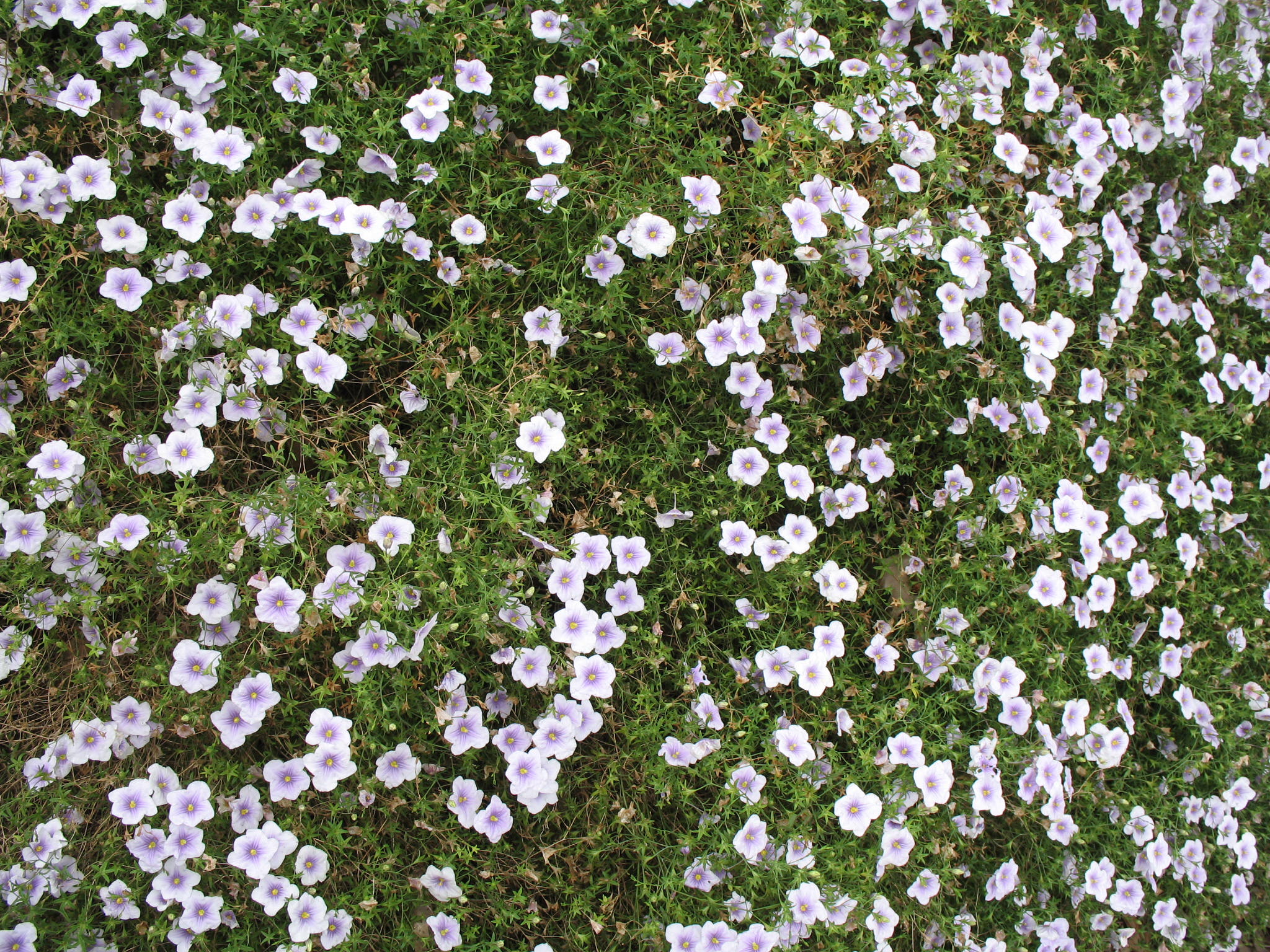 Neirembergia argentiha  / Neirembergia argentiha
