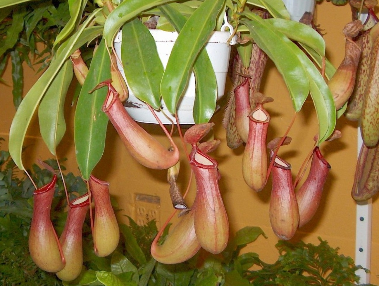 Nepenthes alata  / Nepenthes alata