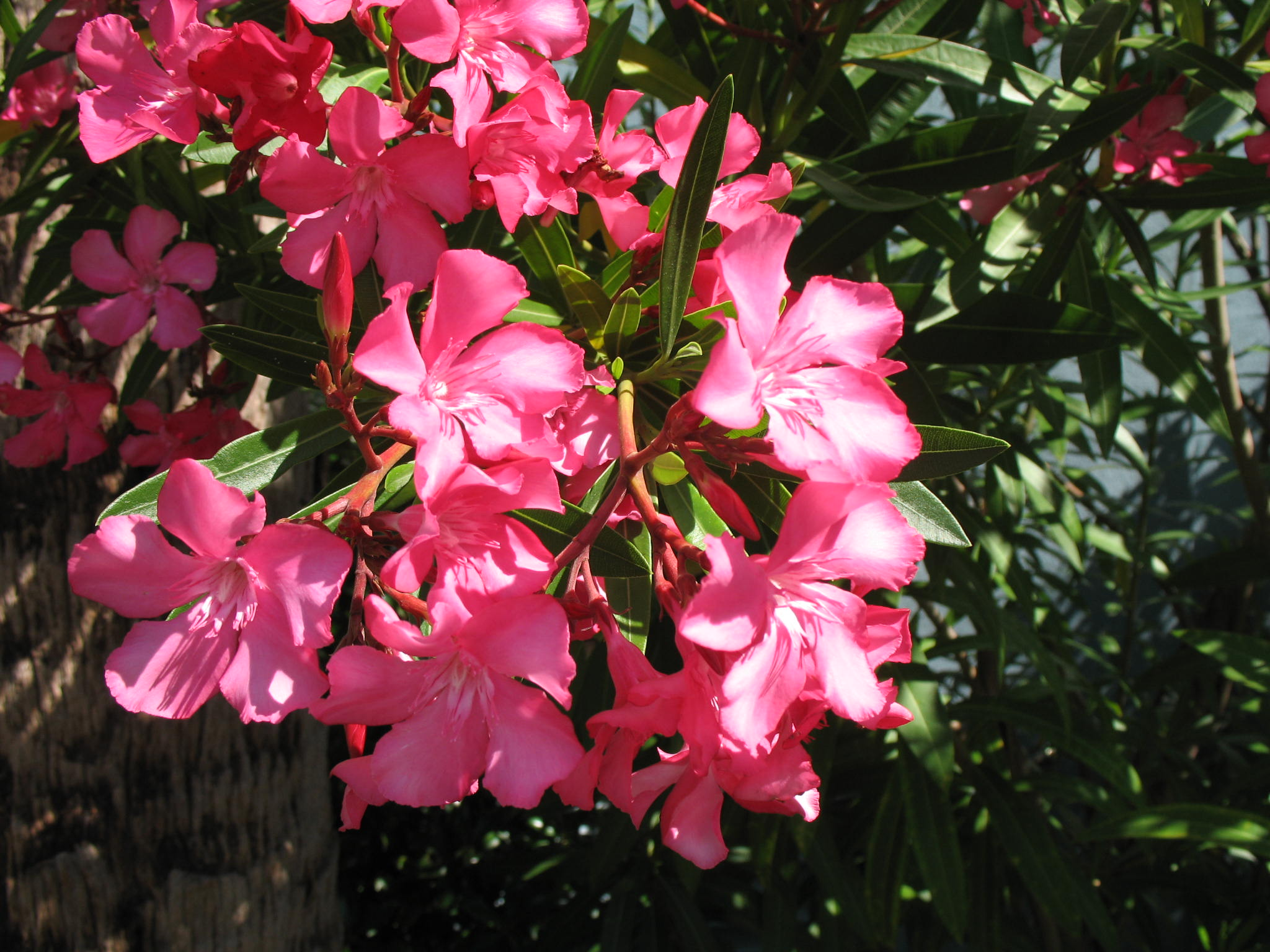 online plant guide nerium oleander 39 calypso 39 calypso. Black Bedroom Furniture Sets. Home Design Ideas