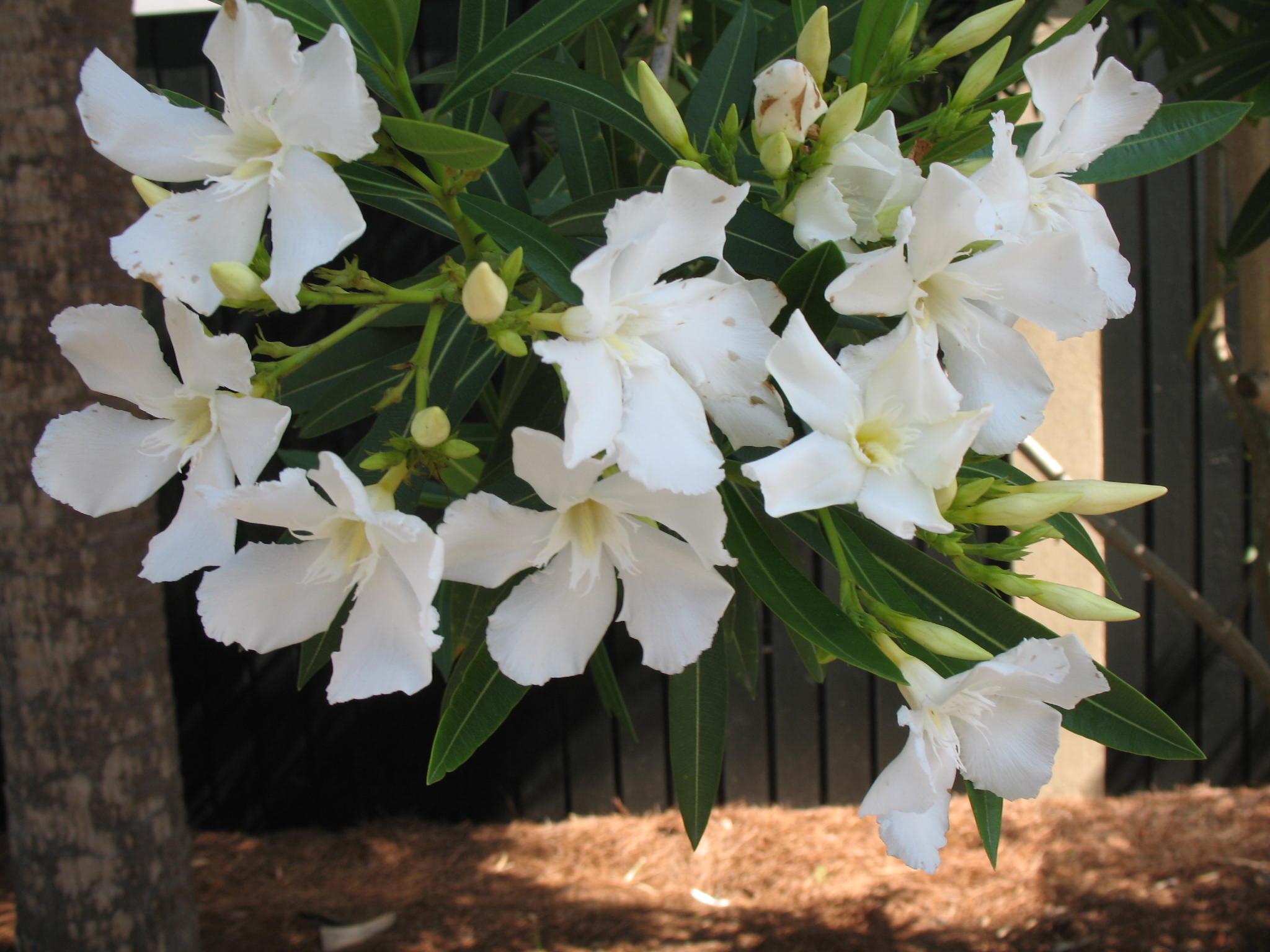 Nerium oleander 'Sister Agnes'  / Nerium oleander 'Sister Agnes'