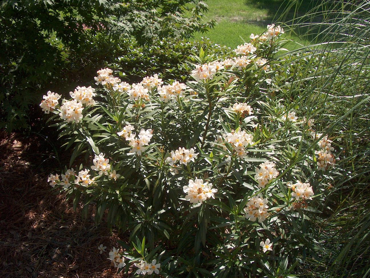 Nerium oleander 'Dwarf' / Nerium oleander 'Dwarf'