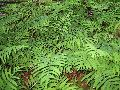 Sensitive Fern / Onoclea sensibilis