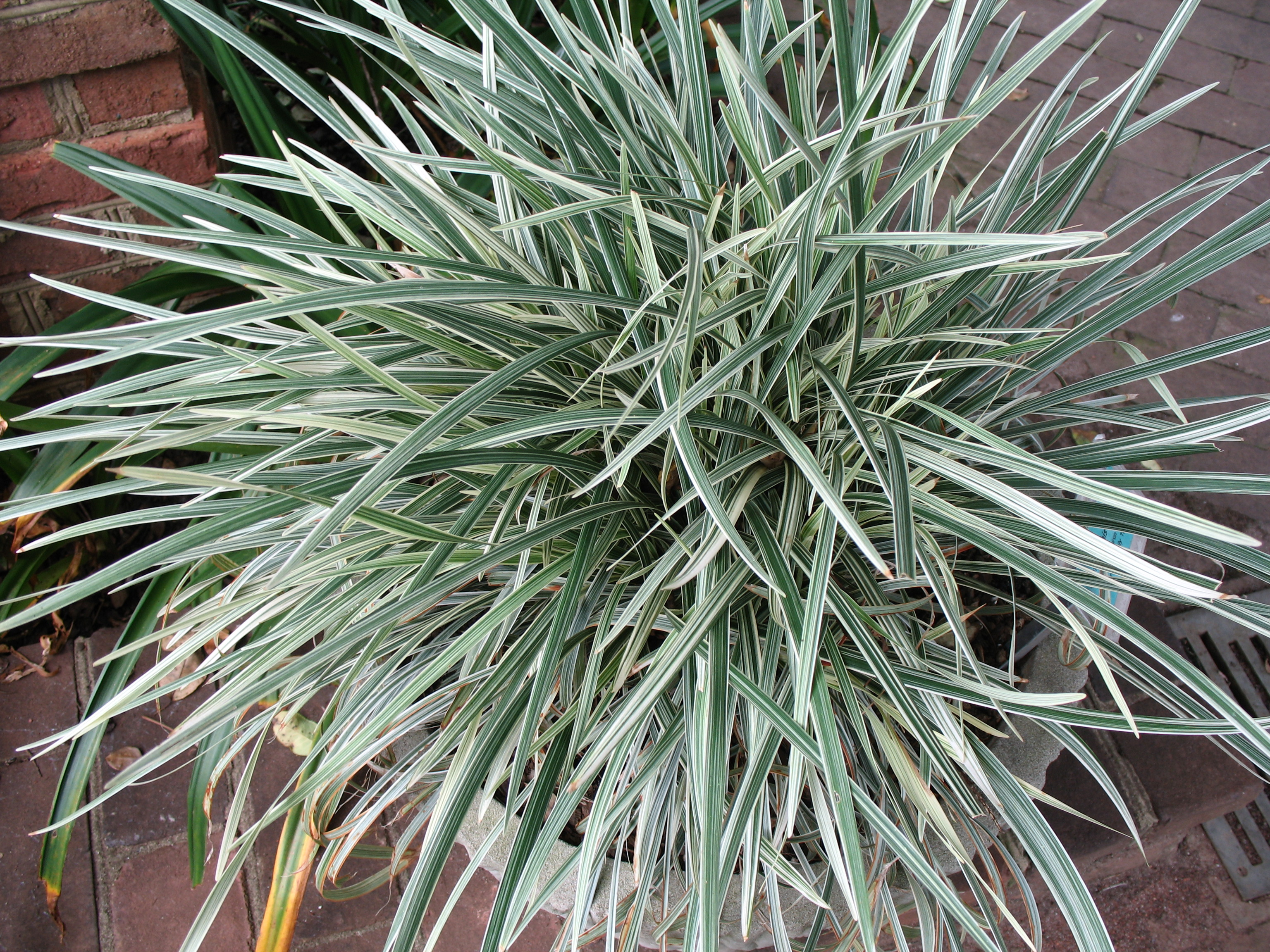 Online plant guide ophiopogon jaburan 39 vittatus 39 aztec for Variegated grass plant