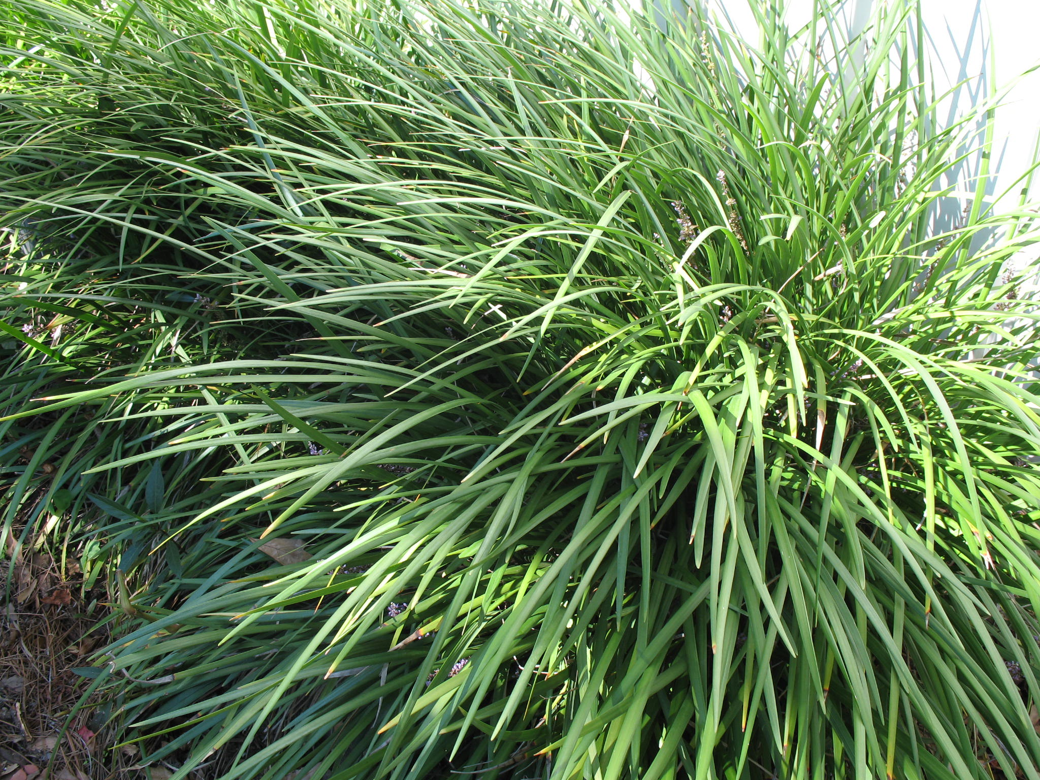 Online Plant Guide Ophiopogon Jaburan Giant Liriope