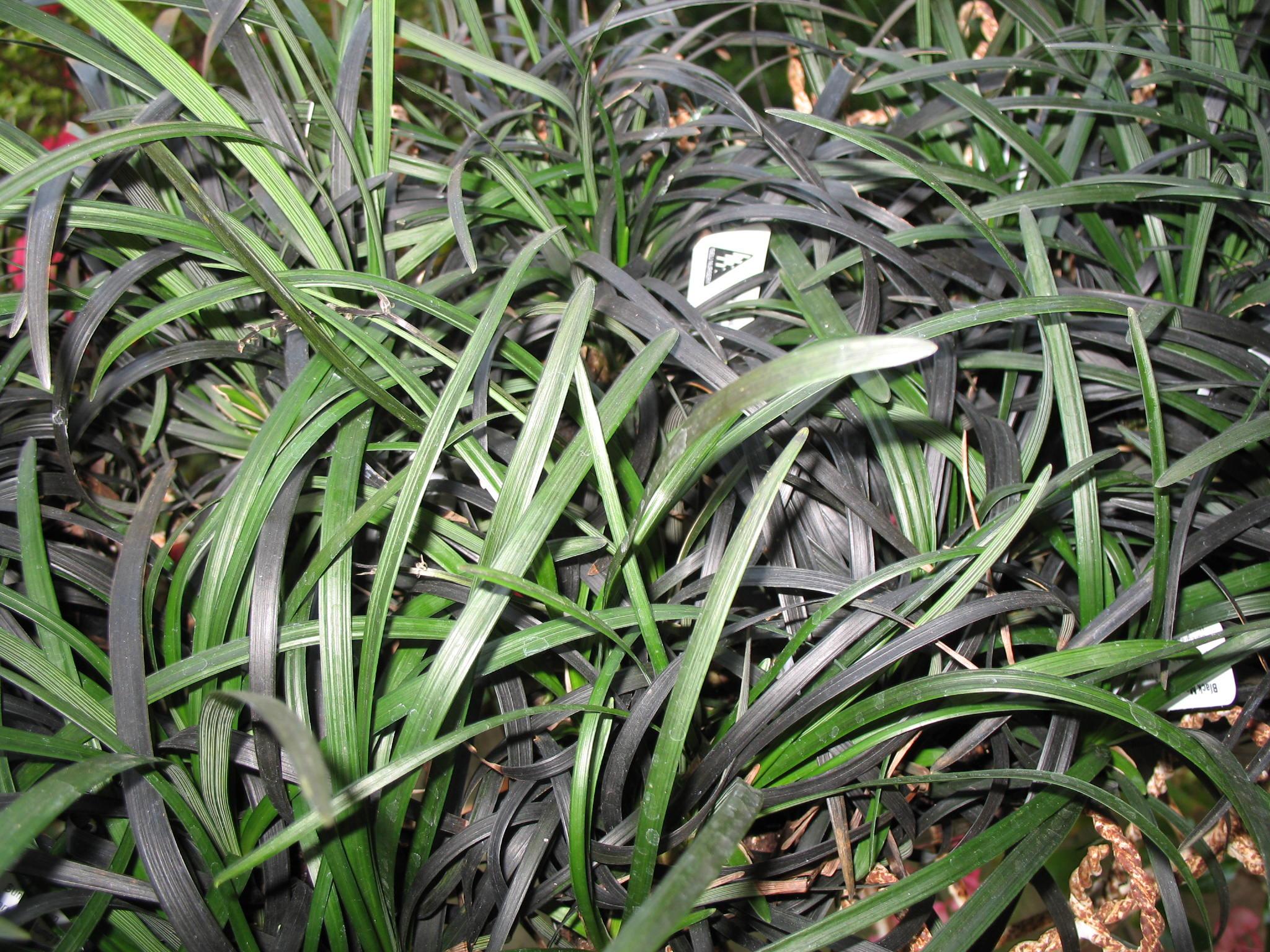 Ophiopogon planiscapus 'Nigrescens'  / Ophiopogon planiscapus 'Nigrescens'