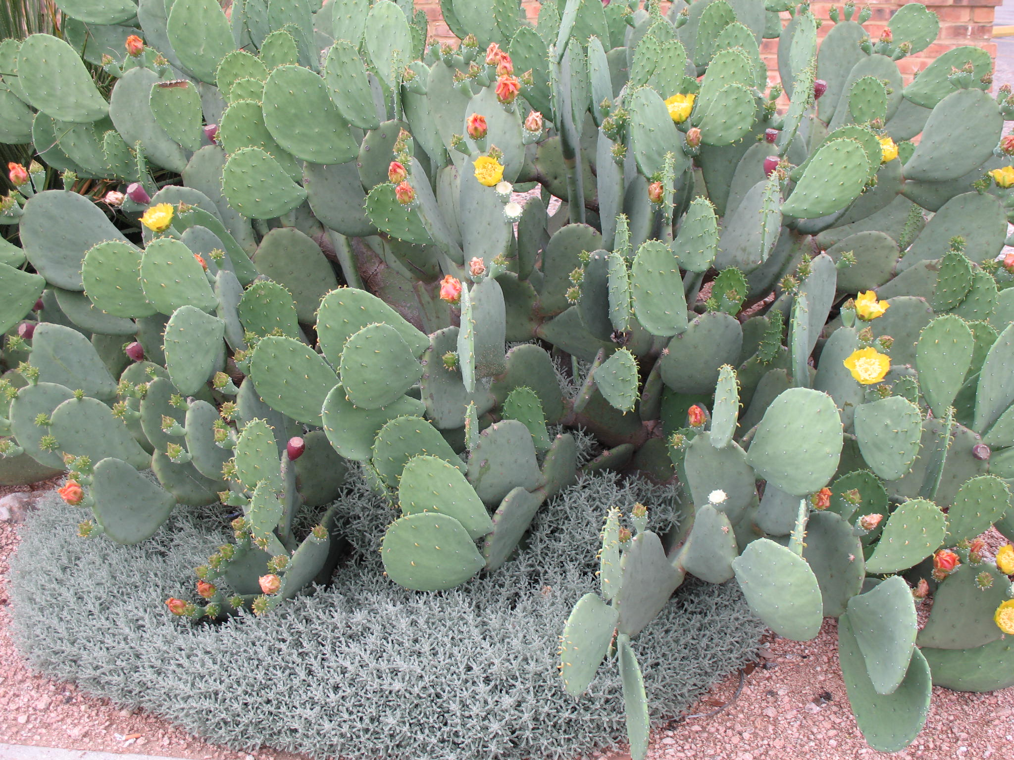 Opuntia species  / Opuntia species