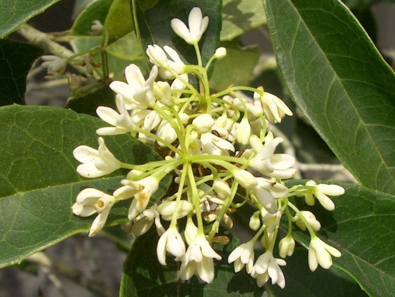 Osmanthus fragrans  / Osmanthus fragrans