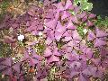 Purple Shamrock / Oxalis purpurea
