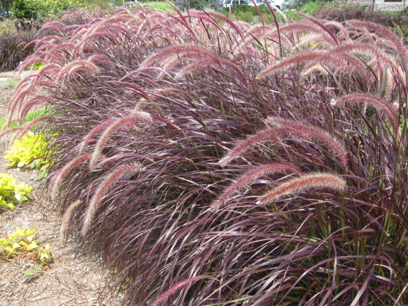Online plant guide pennisetum setaceum purpureum red for Red landscaping grass