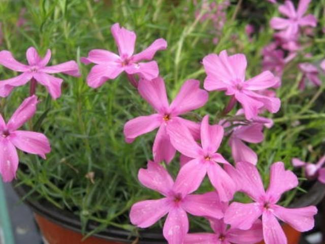 Phlox subulata 'Crimson Beauty'  / Phlox subulata 'Crimson Beauty'
