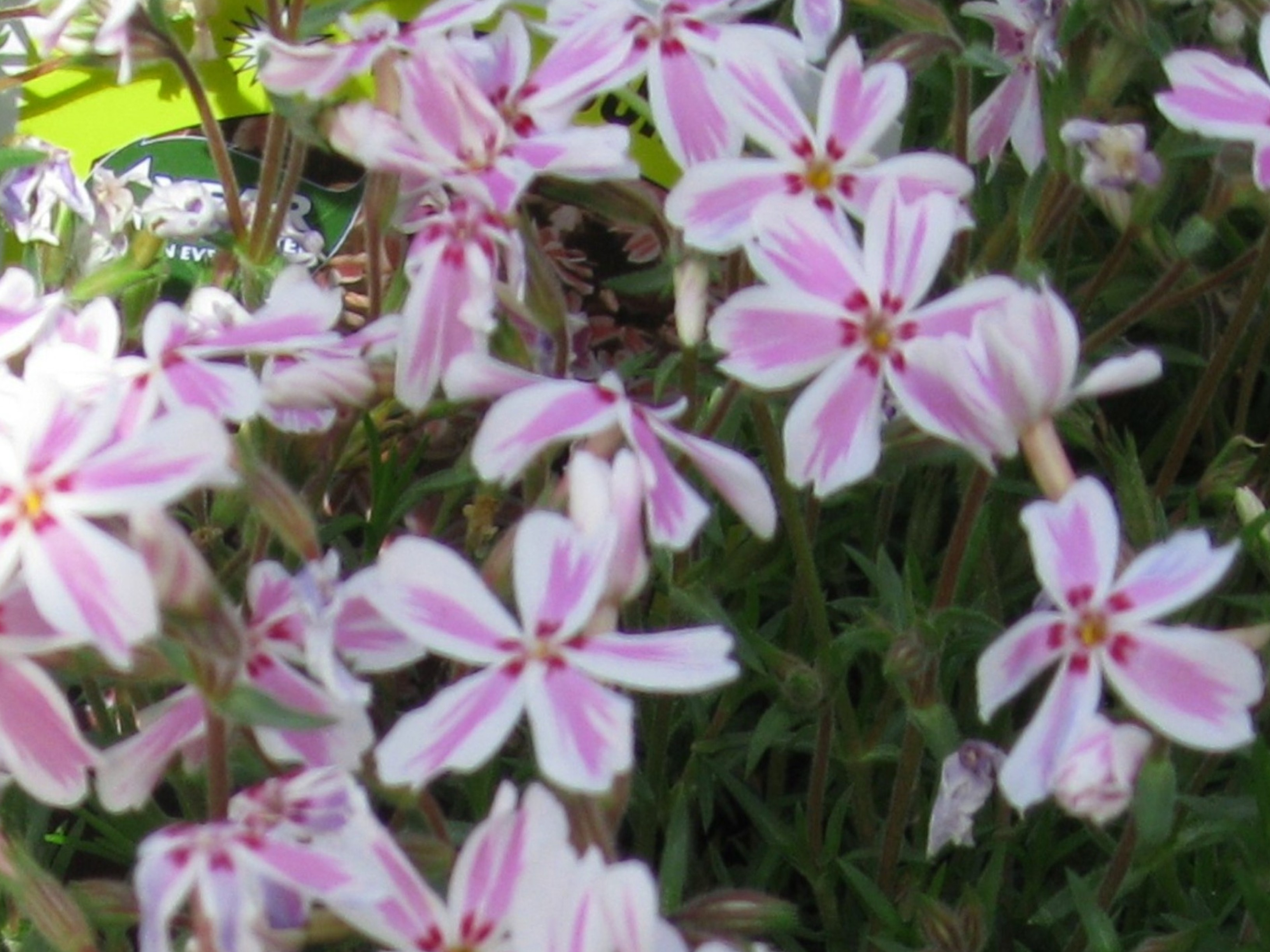 Phlox subulata 'Candy Stripe' / Phlox subulata 'Candy Stripe'