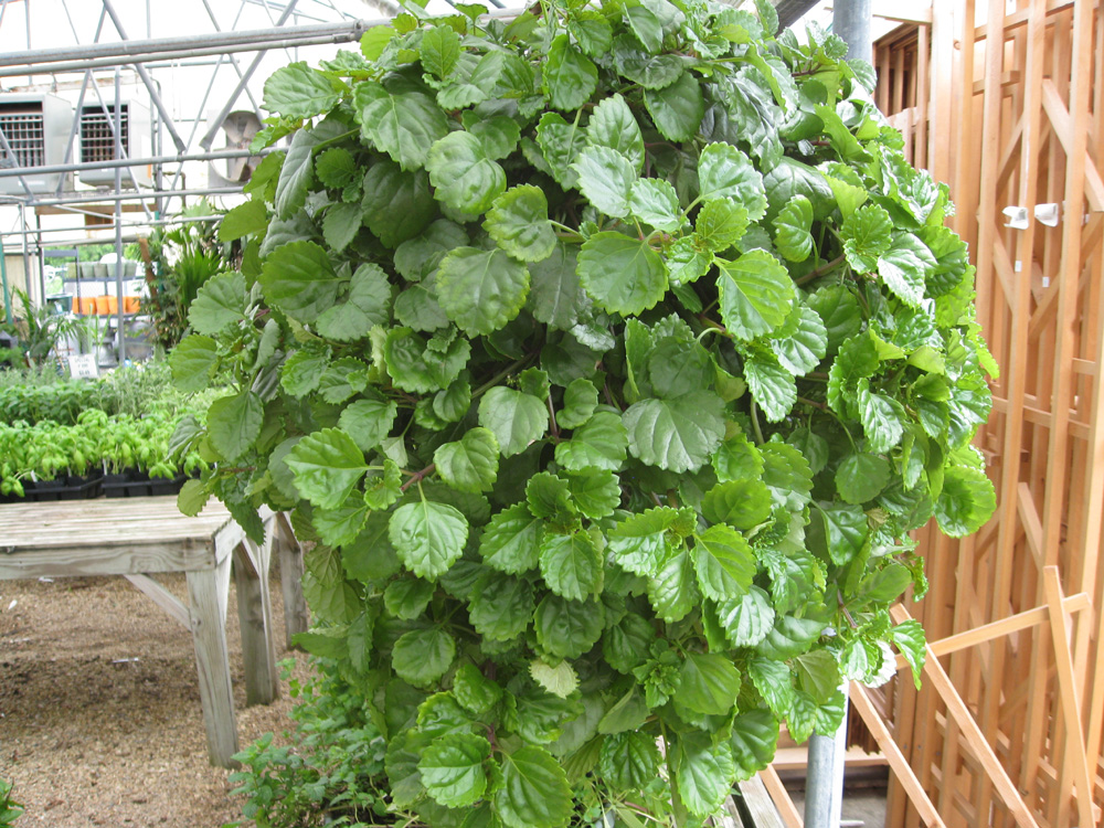 Swedish ivy images galleries with a bite for Plantes online