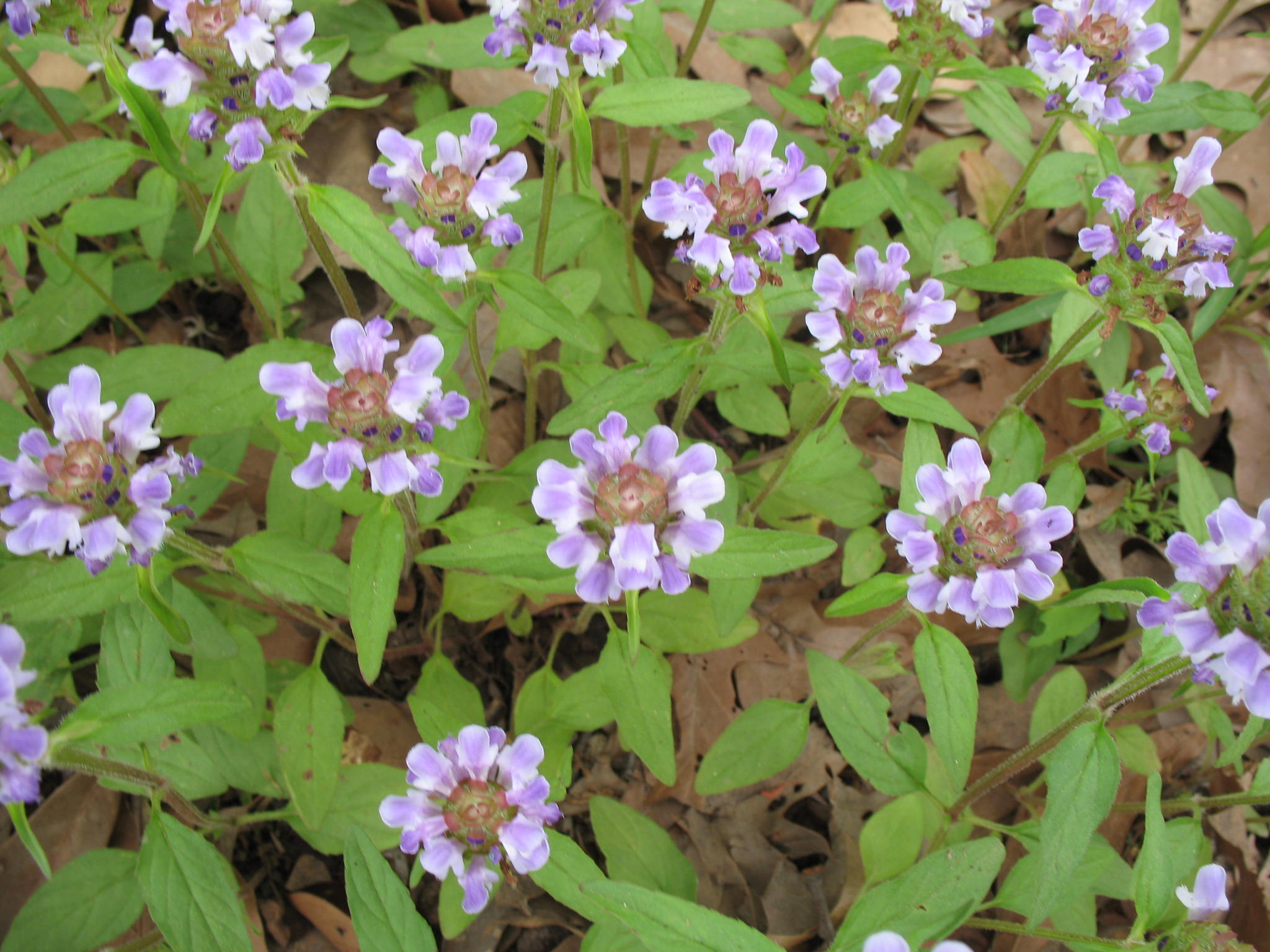 Prunella vulgaris / Prunella vulgaris