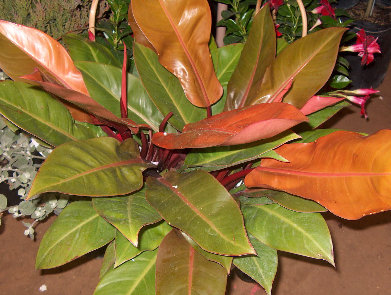 Philodendron 'Autumn' / Philodendron 'Autumn'