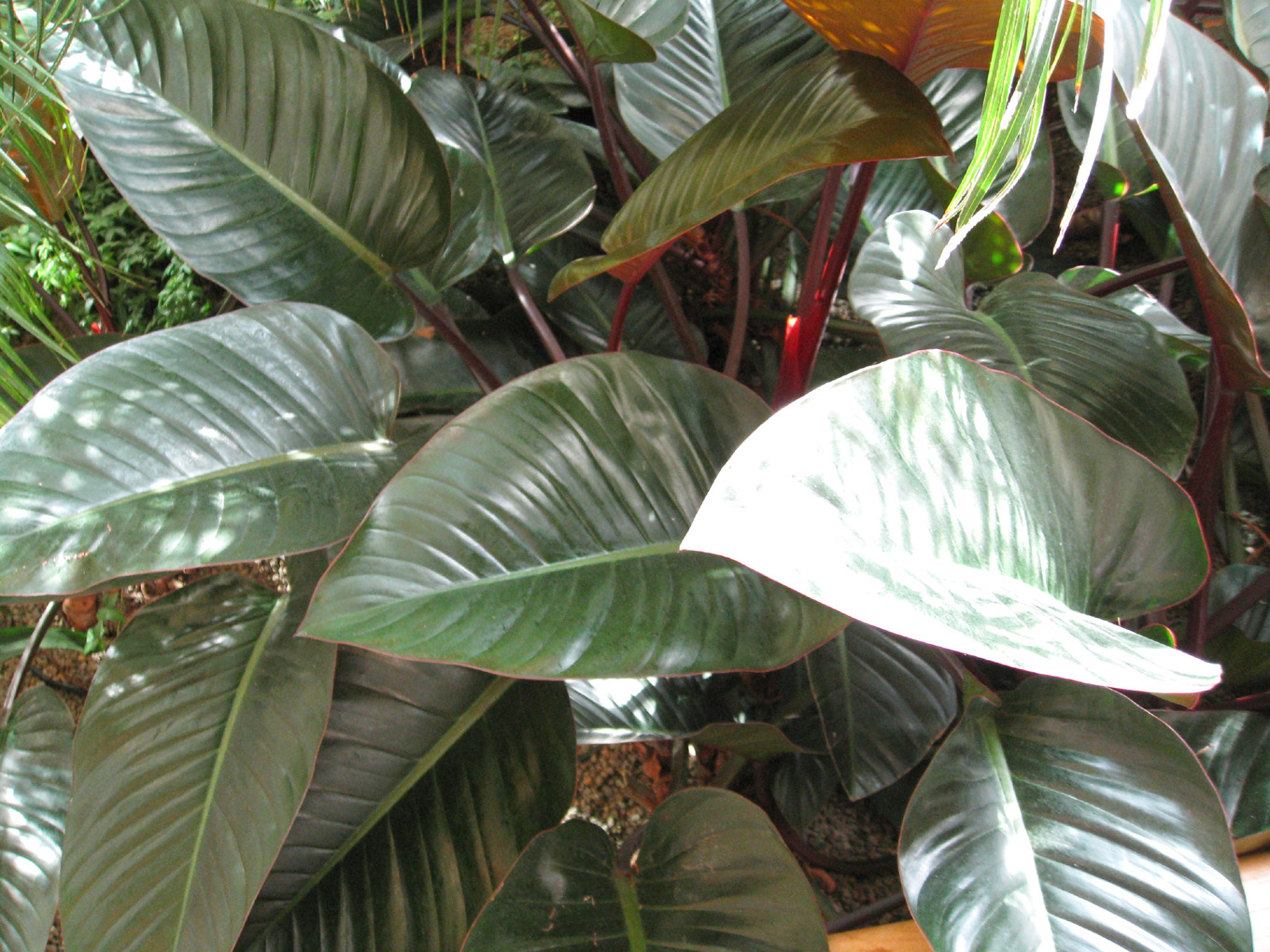 Philodendron 'Imperial Red' / Philodendron 'Imperial Red'