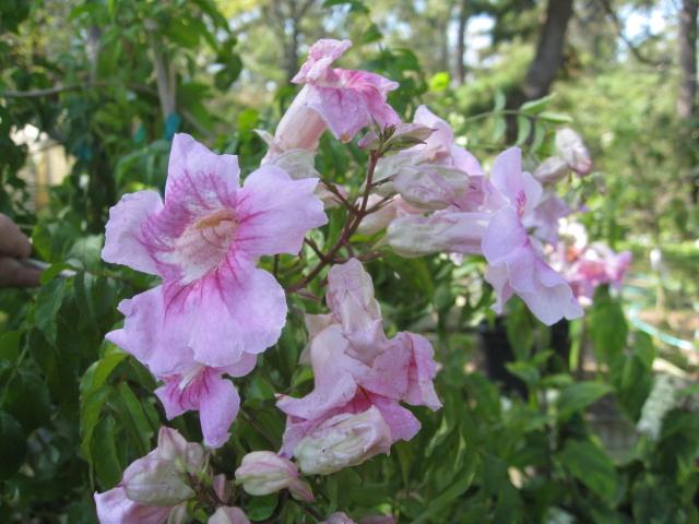 Podranea ricasoliana   / Pink Trumpet Vine