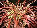 Variegated Purple Fountain Grass / Pennisetum setaceum rubrum