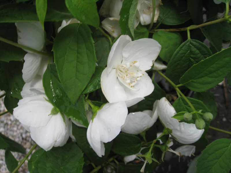 Philadelphus coronarius 'Snow White Sensation' / Philadelphus coronarius 'Snow White Sensation'