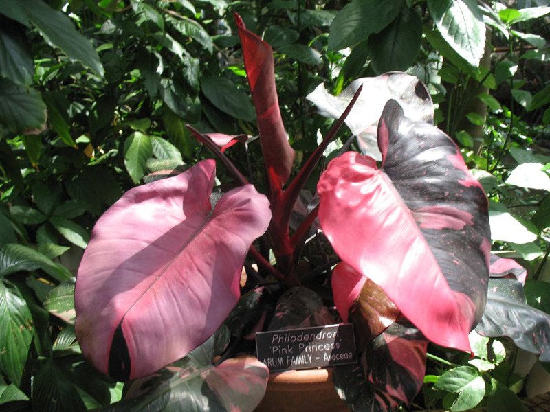 Philodendron 'Pink Princess' / Philodendron 'Pink Princess'