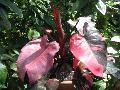Pink Princess Philodendron / Philodendron