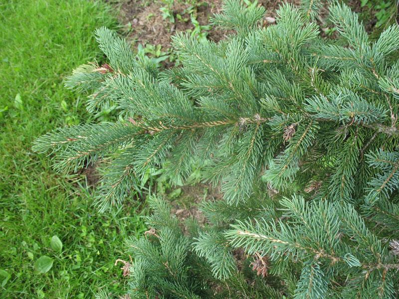 Picea glauca 'Densata'  / Picea glauca 'Densata'