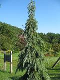 Weeping White Spruce / Picea glauca