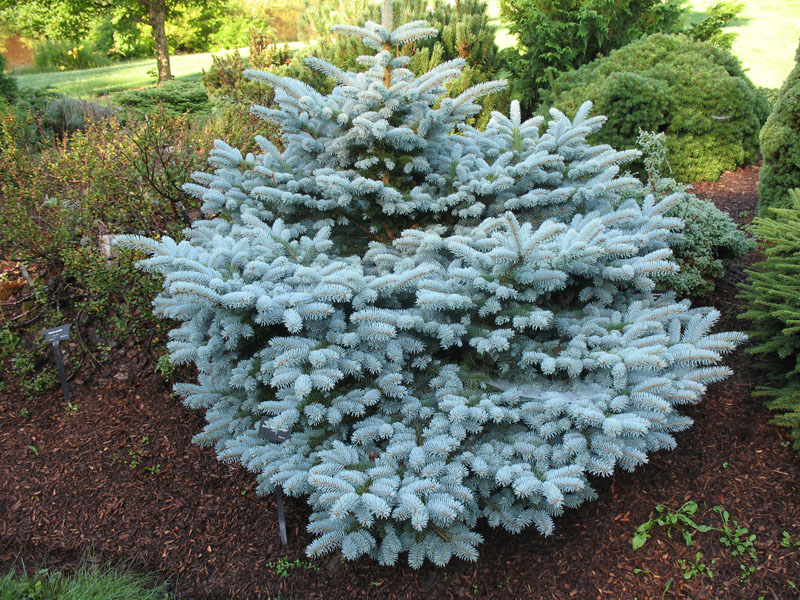 online plant guide picea pungens glauca 39 hunnewelliana 39 dwarf hunnewelliana spruce. Black Bedroom Furniture Sets. Home Design Ideas