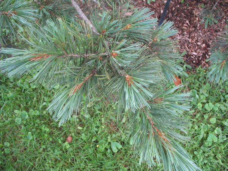 Pinus flexillis 'Millcreek'   / Pinus flexillis 'Millcreek'