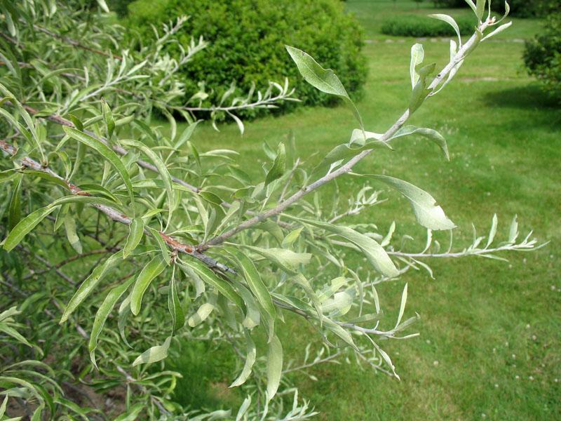 Pyrus salicifolia 'Pendula'   / Pyrus salicifolia 'Pendula'