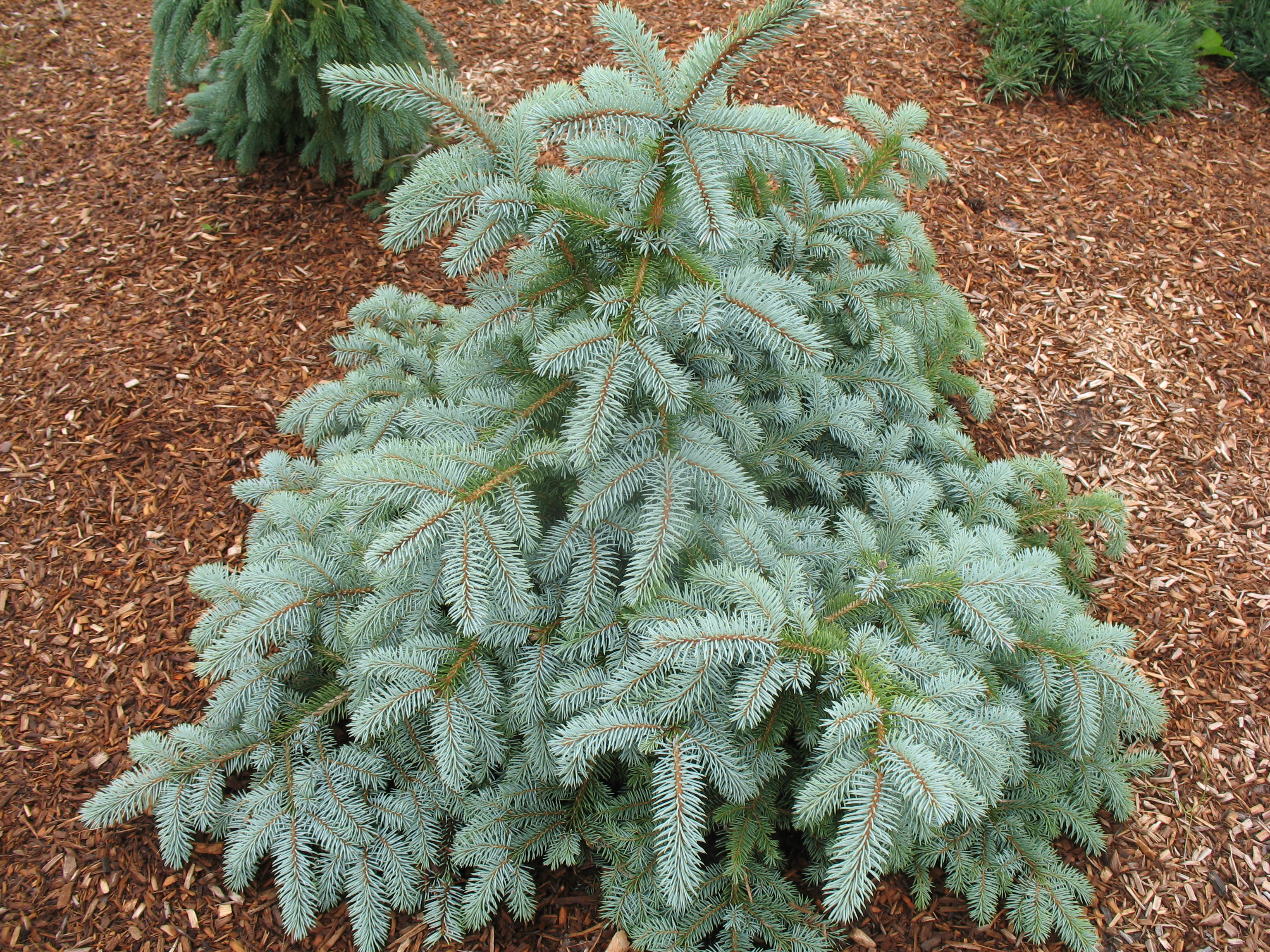 Picea pungens glauca 'Henry B. Fowler' / Picea pungens glauca 'Henry B. Fowler'