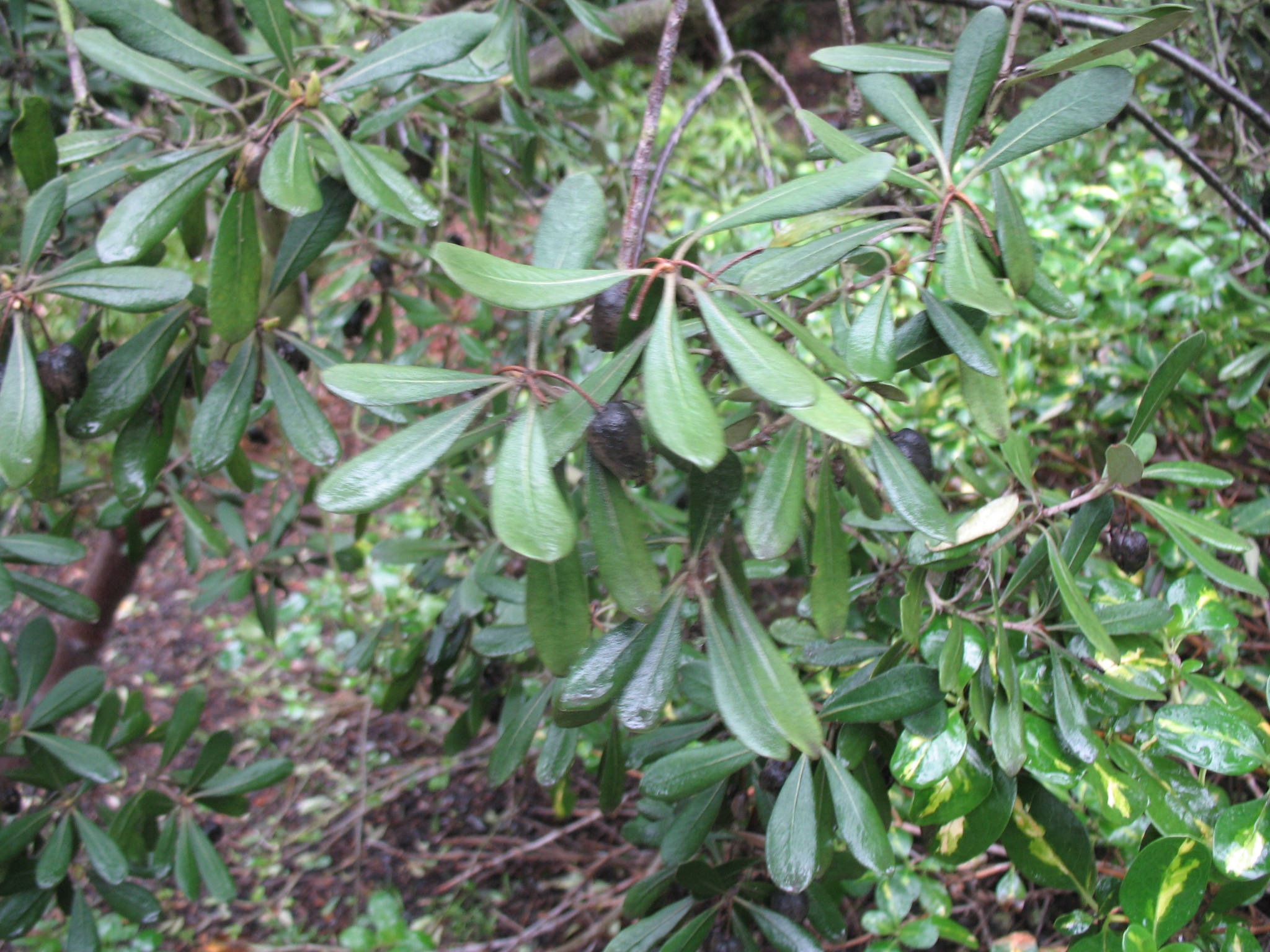 Pittosporum crassifolium / Pittosporum crassifolium