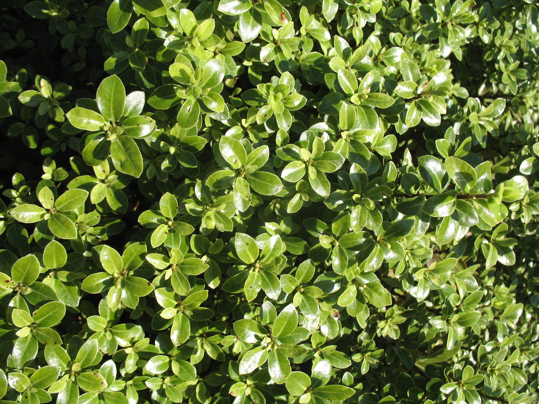 Pittosporum tenuifolium 'Golf Ball'  / Pittosporum tenuifolium 'Golf Ball'