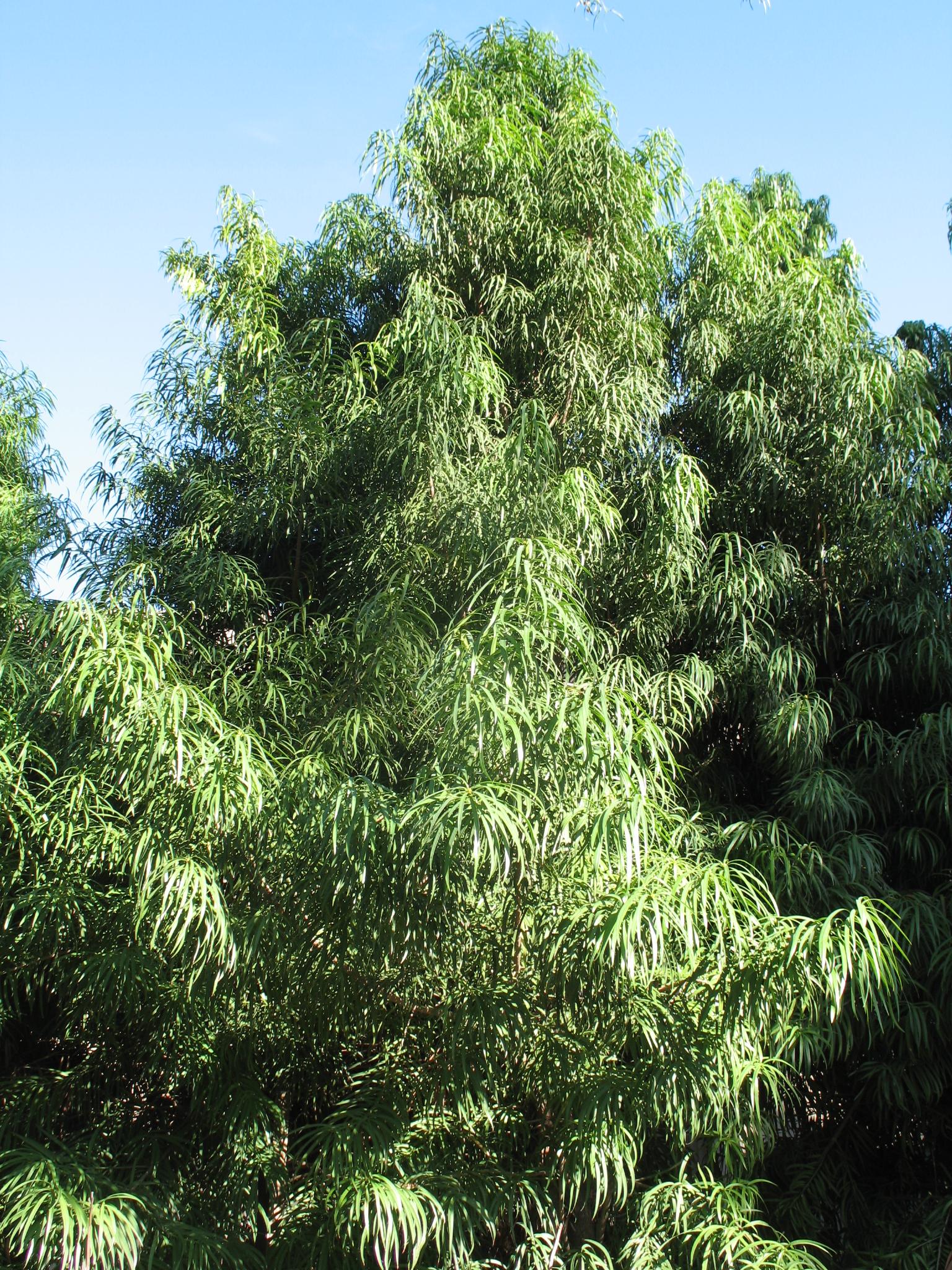 Podocarpus henkelii / Podocarpus henkelii