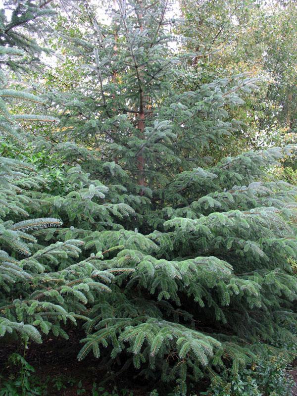 Picea abies 'Nidiformis' / Picea abies 'Nidiformis'