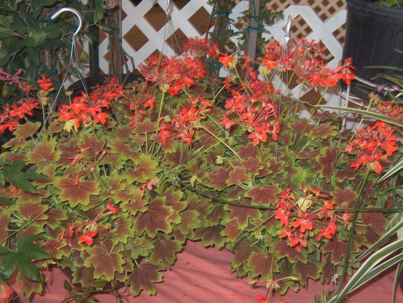 Pelargonium 'Vancouver Centennial'  / Pelargonium 'Vancouver Centennial'
