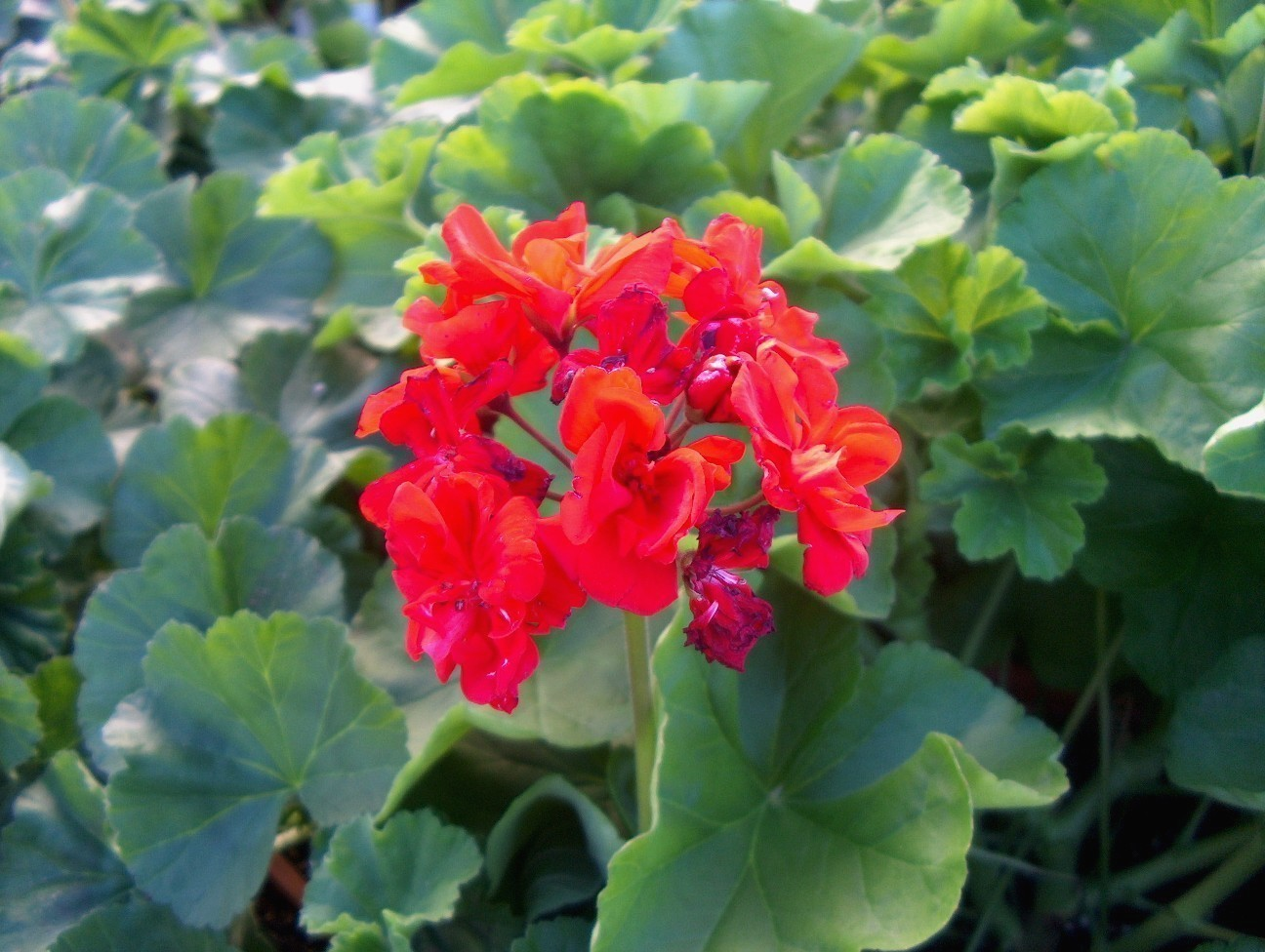 Pelargonium species  / Pelargonium species