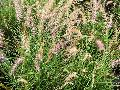 Karley Rose Fountain Grass / Pennisetum