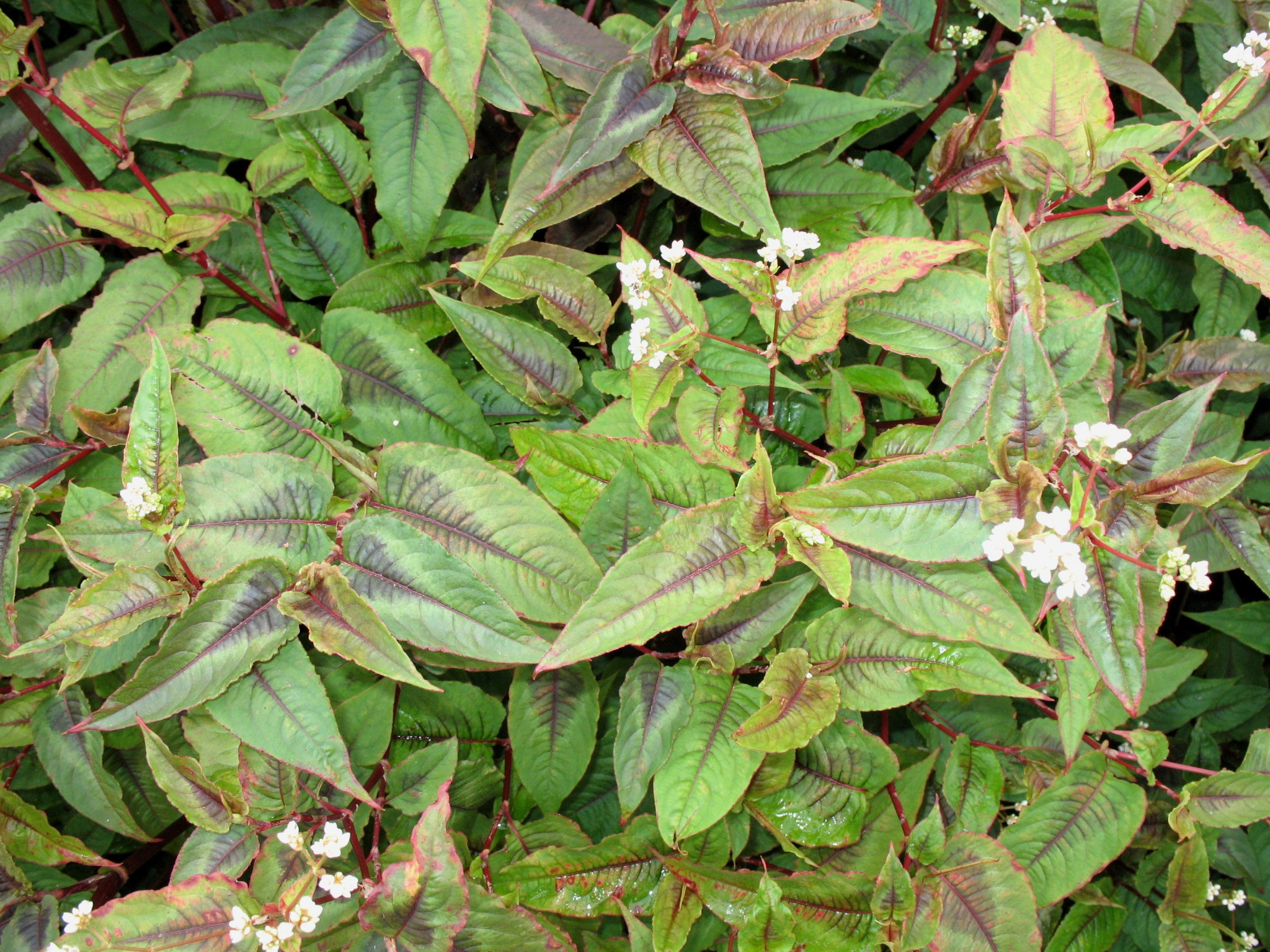 Persicaria microcephala 'Red Dragon'  / Persicaria microcephala 'Red Dragon'