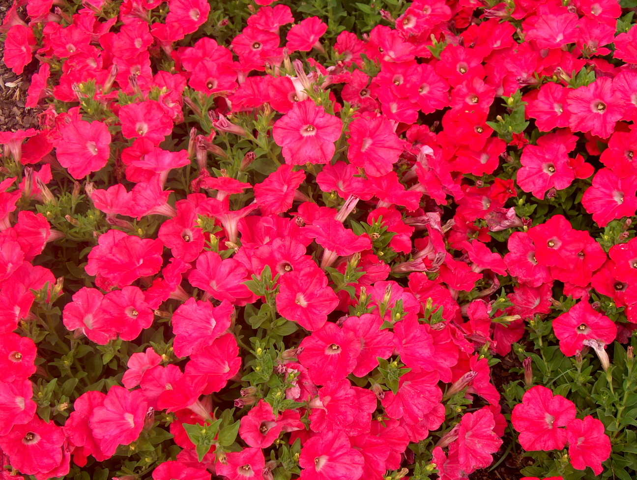 Petunia 'Easy Wave Coral Reef'  / Petunia 'Easy Wave Coral Reef'