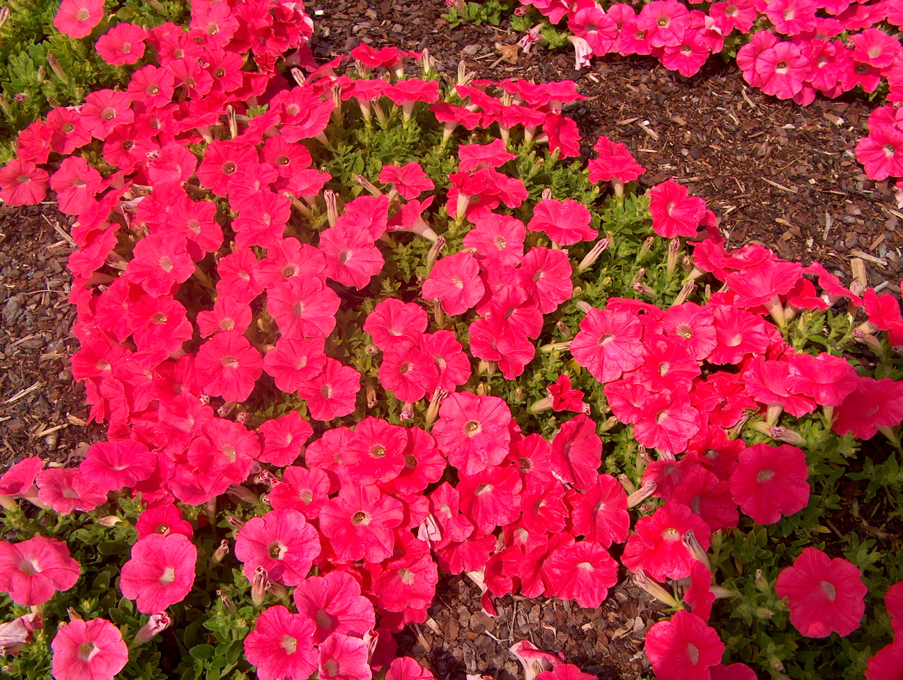Petunia 'Easy Wave Salmon'  / Petunia 'Easy Wave Salmon'