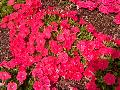 Easy Wave Salmon Petunia / Petunia
