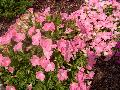 Easy Wave Shell Pink Petunia / Petunia