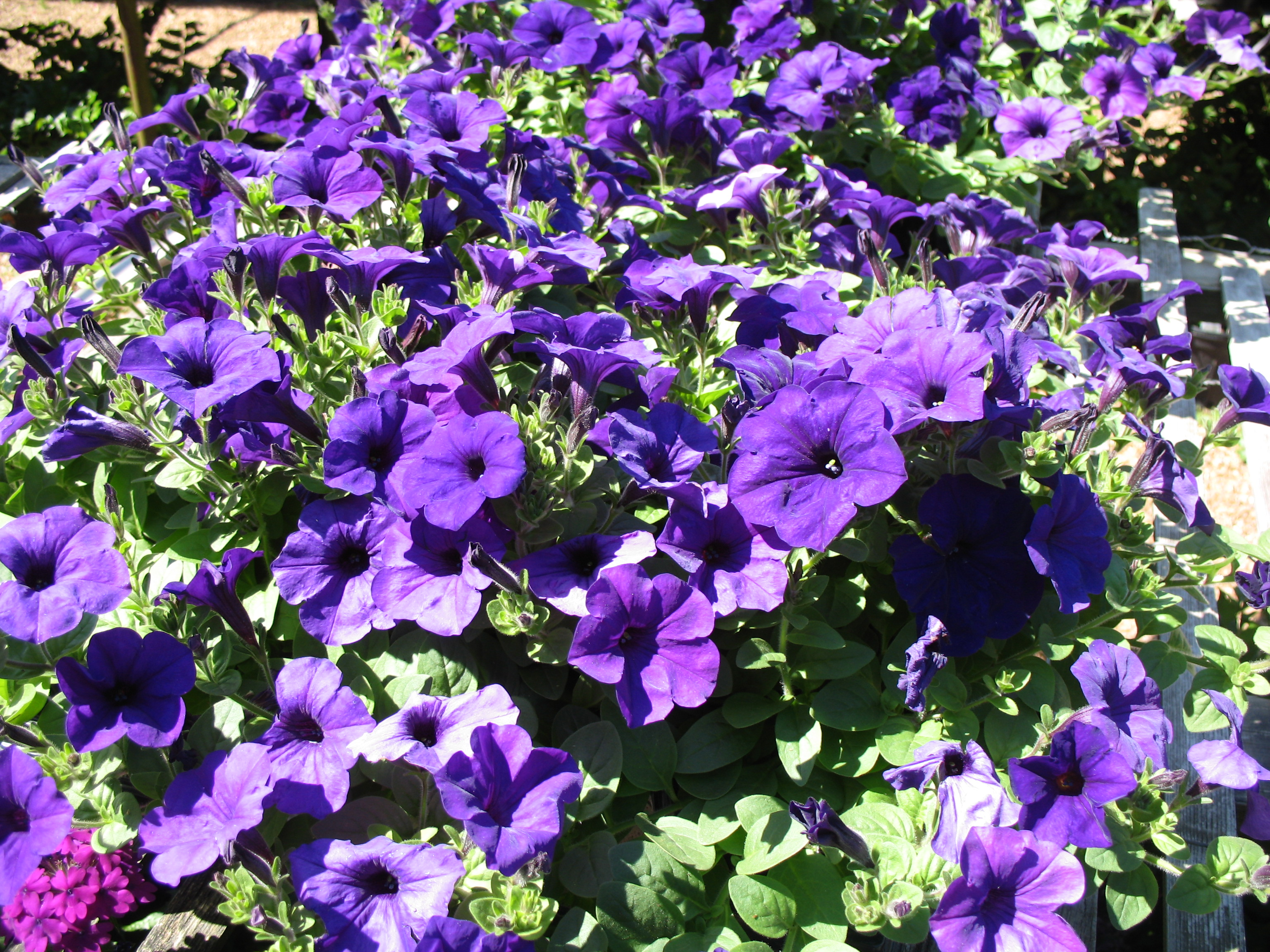 Petunia 'Wave Purple' / Petunia 'Wave Purple'